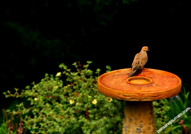 morning dove 3 - Copy