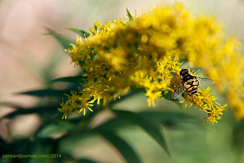 goldenrod bee wdp - Copy sml