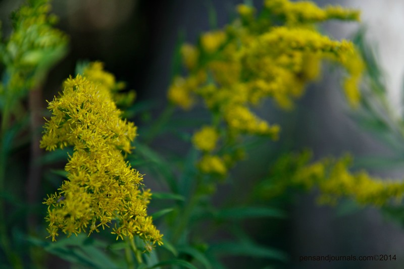 goldenrod wdp - Copy sml