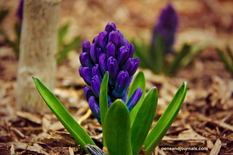 Hyacinth 4x wdp - Copy