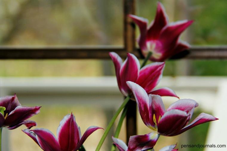 tulips by window wdp - Copy