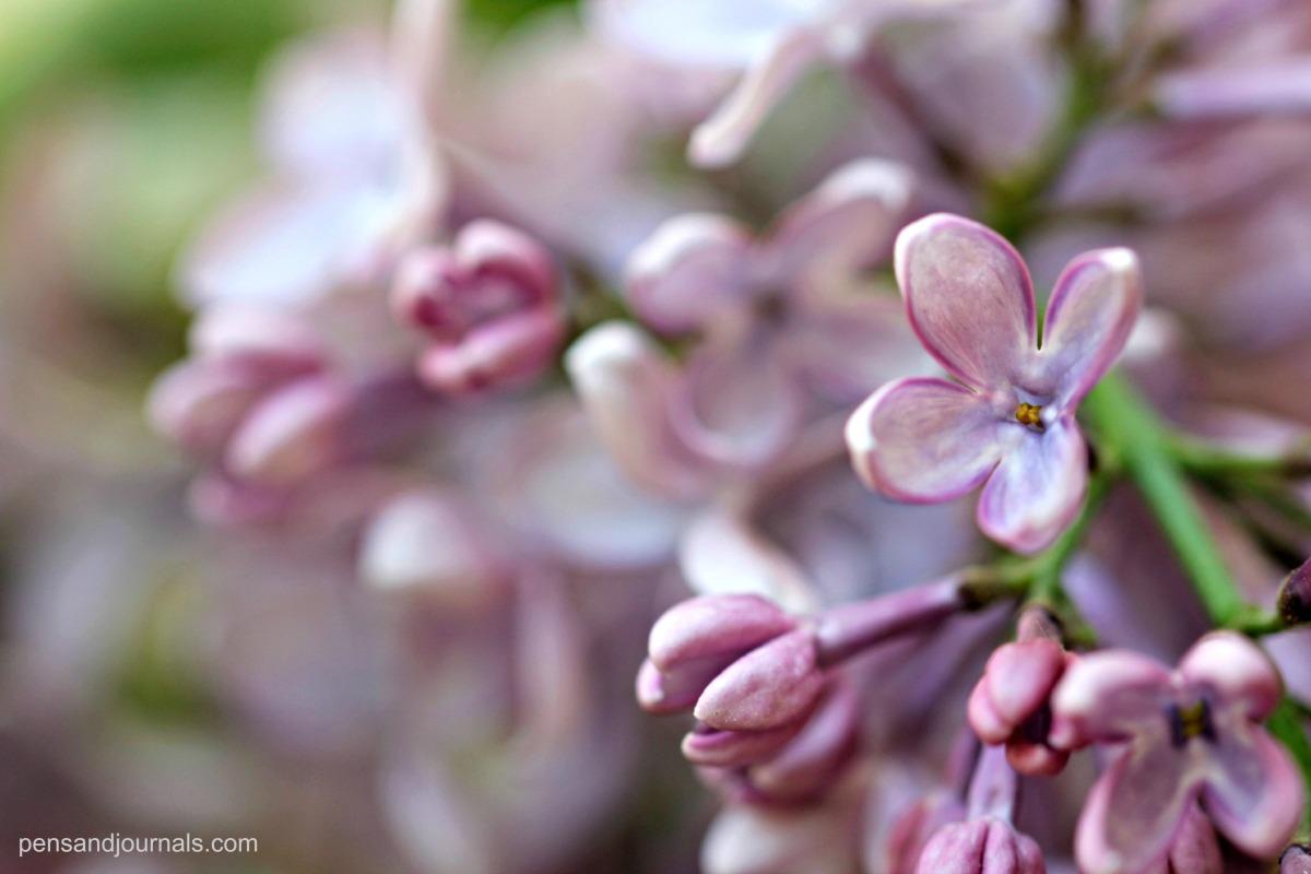 lilacs wdps