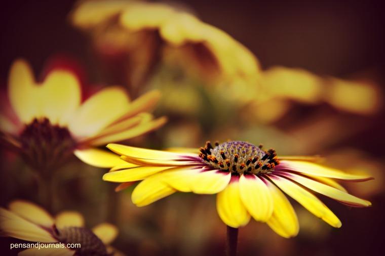 gerber daisy wdp - Copy