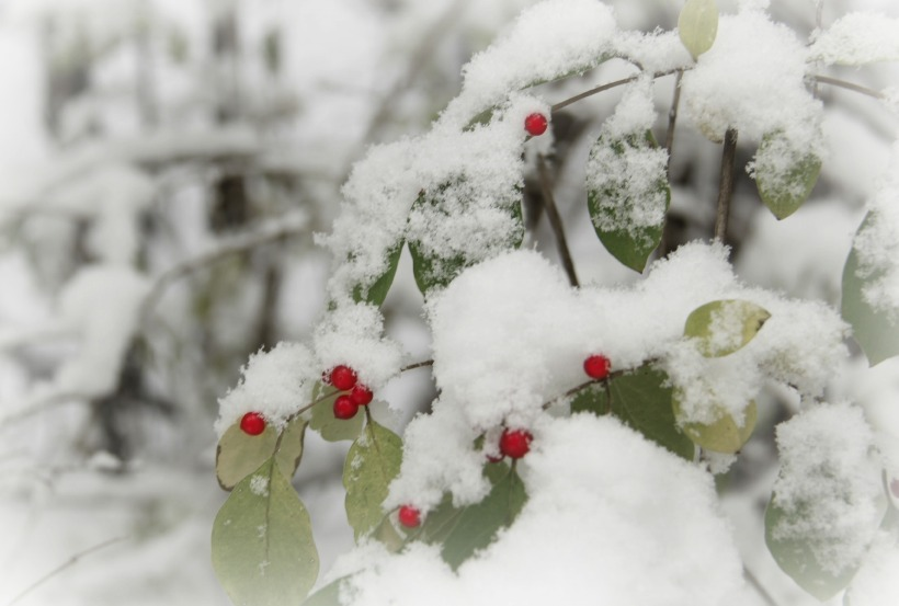 snowy berriesx