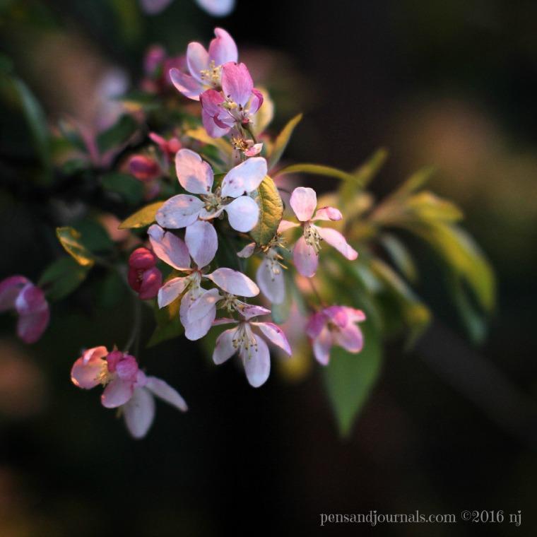 crabapple blossoms wdp