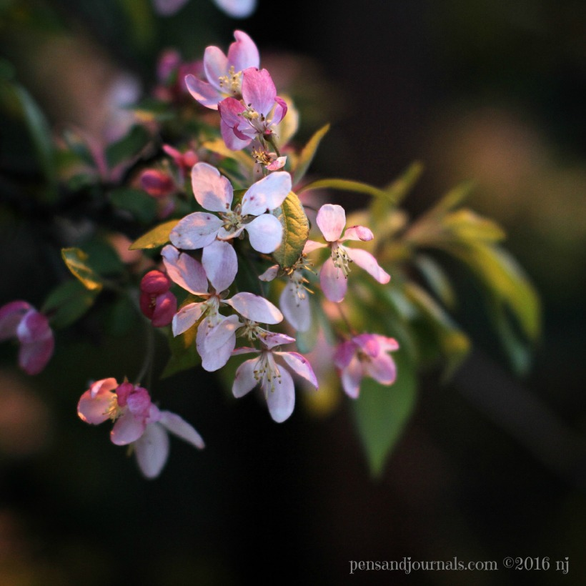 crabapple blossoms wdp