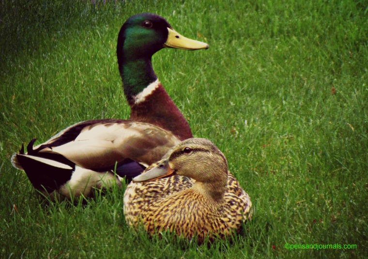 pair of ducks 2