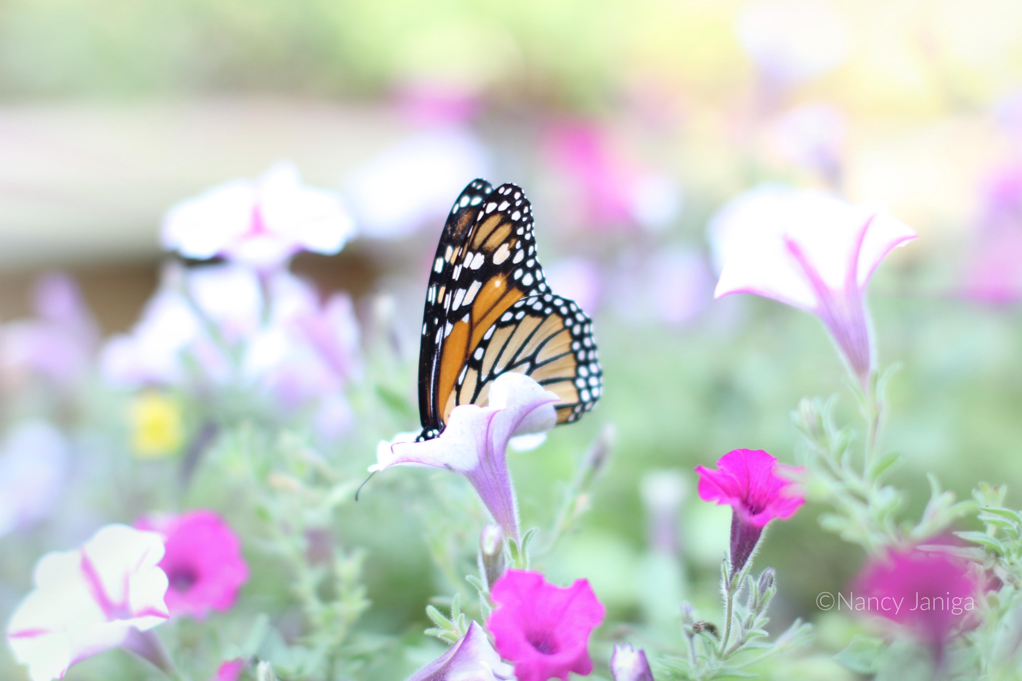 butterfly ©